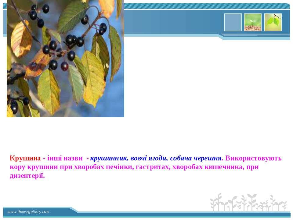 Крушина - інші назви - крушинник, вовчі ягоди, собача черешня. Використовують...