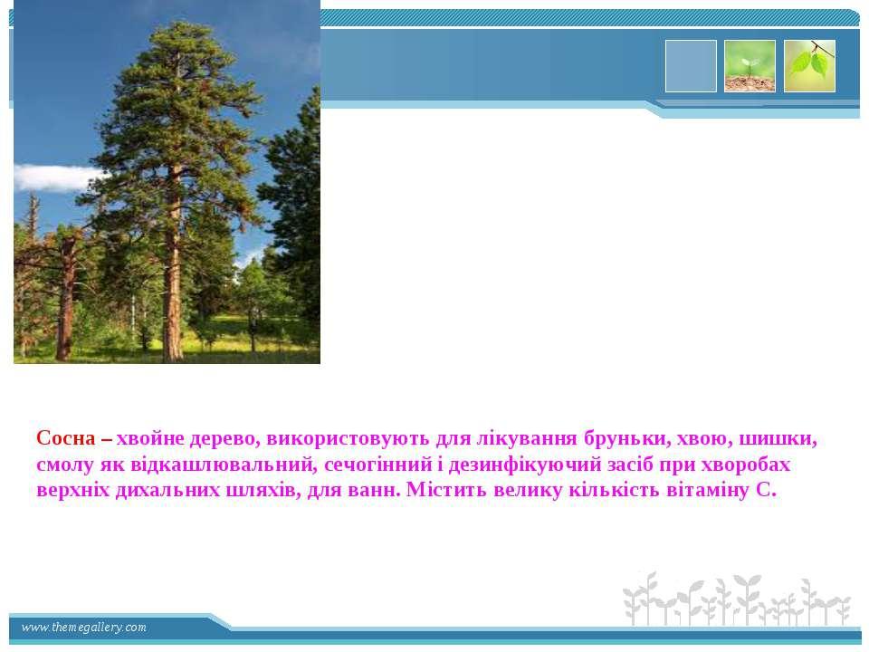 Сосна – хвойне дерево, використовують для лікування бруньки, хвою, шишки, смо...