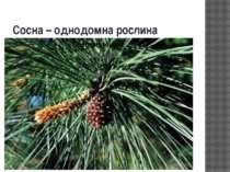 Сосна – однодомна рослина