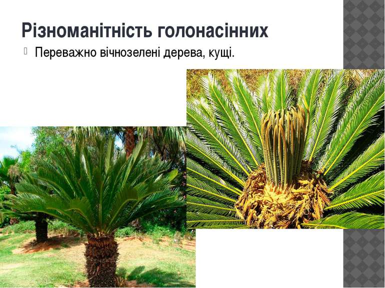 Різноманітність голонасінних Переважно вічнозелені дерева, кущі.