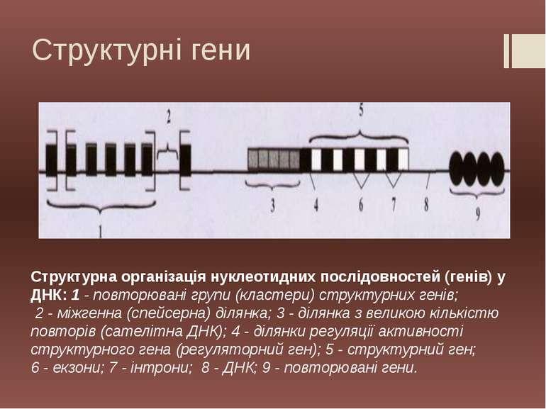 Структурна організація нуклеотидних послідовностей (генів) у ДНК: 1 - повторю...