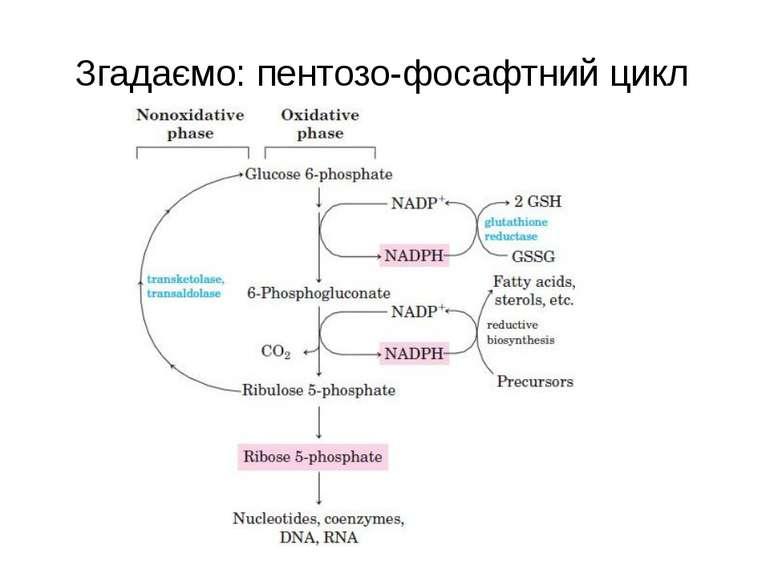 Згадаємо: пентозо-фосафтний цикл