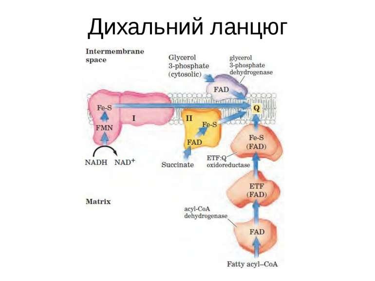Дихальний ланцюг