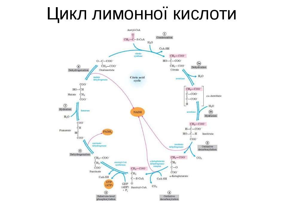 Цикл лимонної кислоти