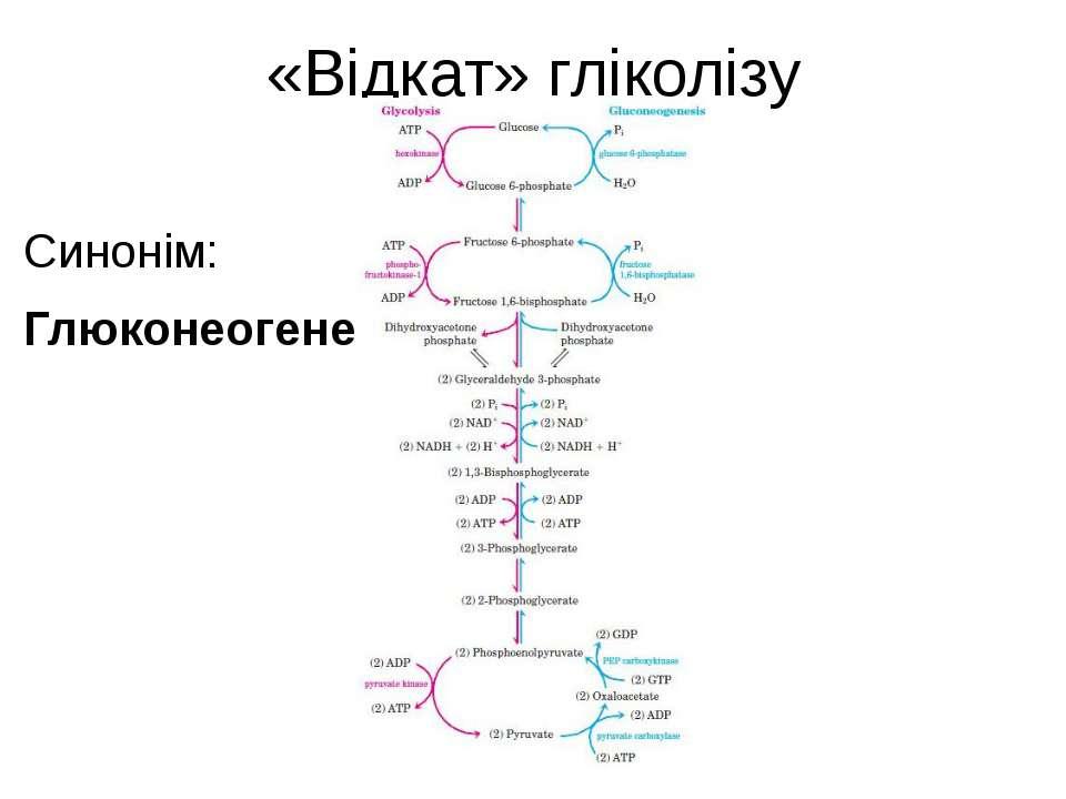 «Відкат» гліколізу Синонім: Глюконеогенез