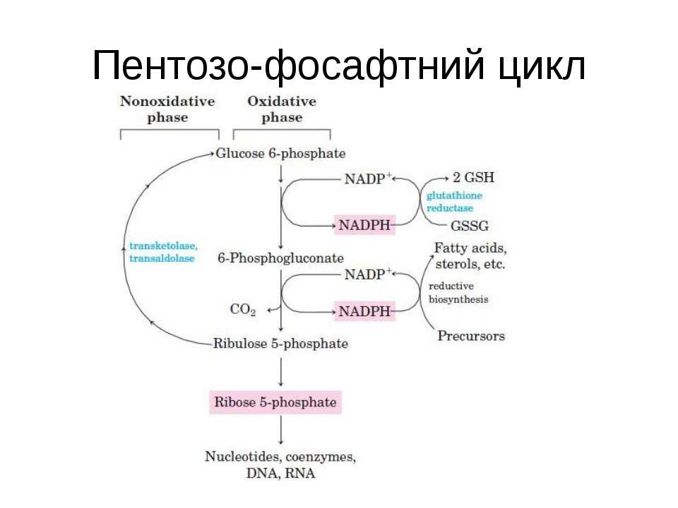 Пентозо-фосафтний цикл