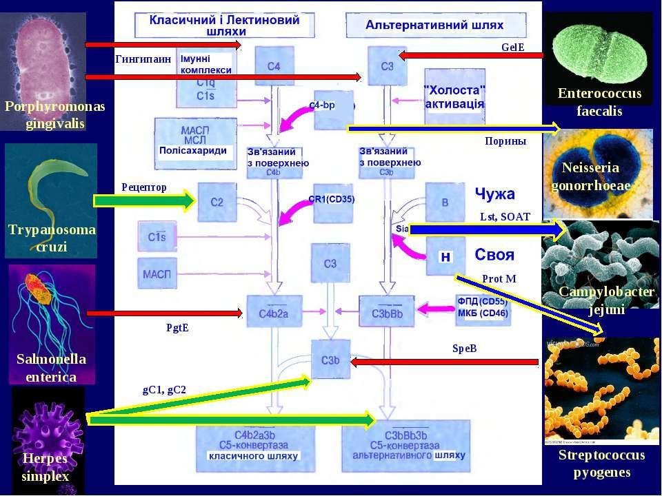 Porphyromonas gingivalis Salmonella enterica Herpes simplex Trypanosoma cruzi...
