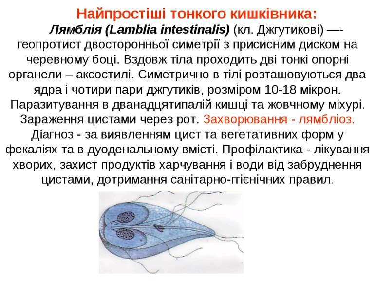 Найпростіші тонкого кишківника: Лямблія (Lamblia intestinalis) (кл. Джгутиков...