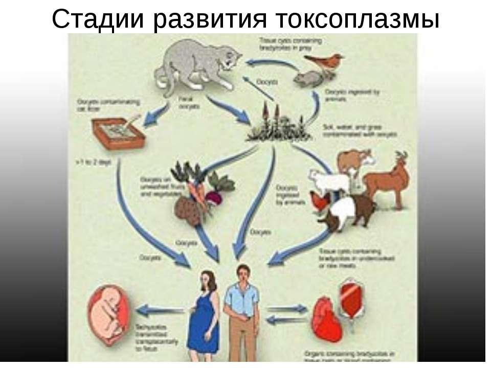 Стадии развития токсоплазмы