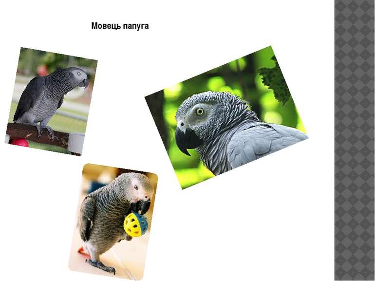 Мовець папуга