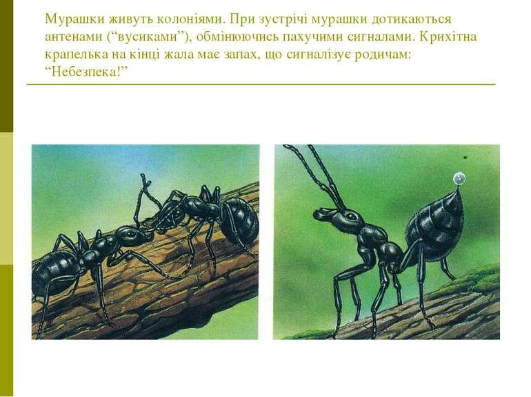 """Мурашки живуть колоніями. При зустрічі мурашки дотикаються антенами (""""вусикам..."""