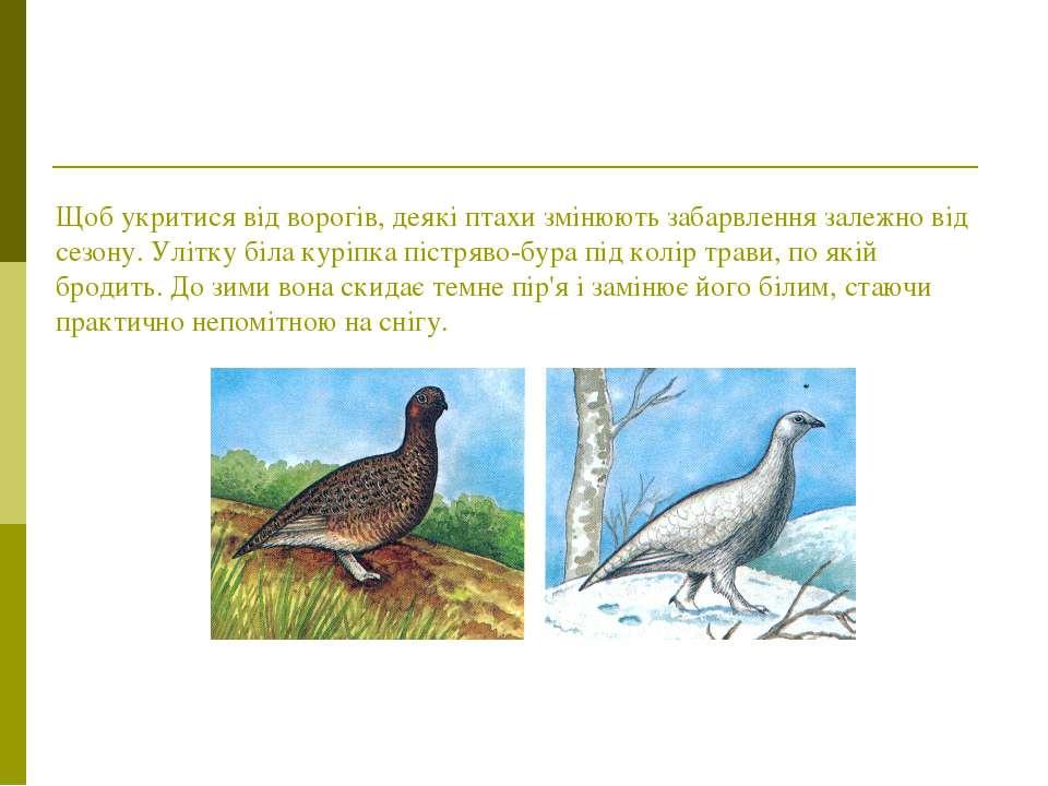 Щоб укритися від ворогів, деякі птахи змінюють забарвлення залежно від сезону...
