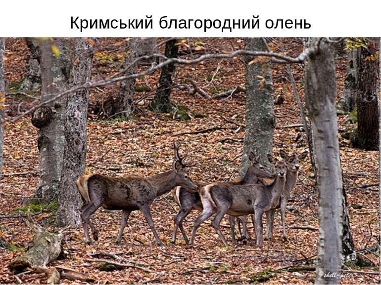 Кримський благородний олень