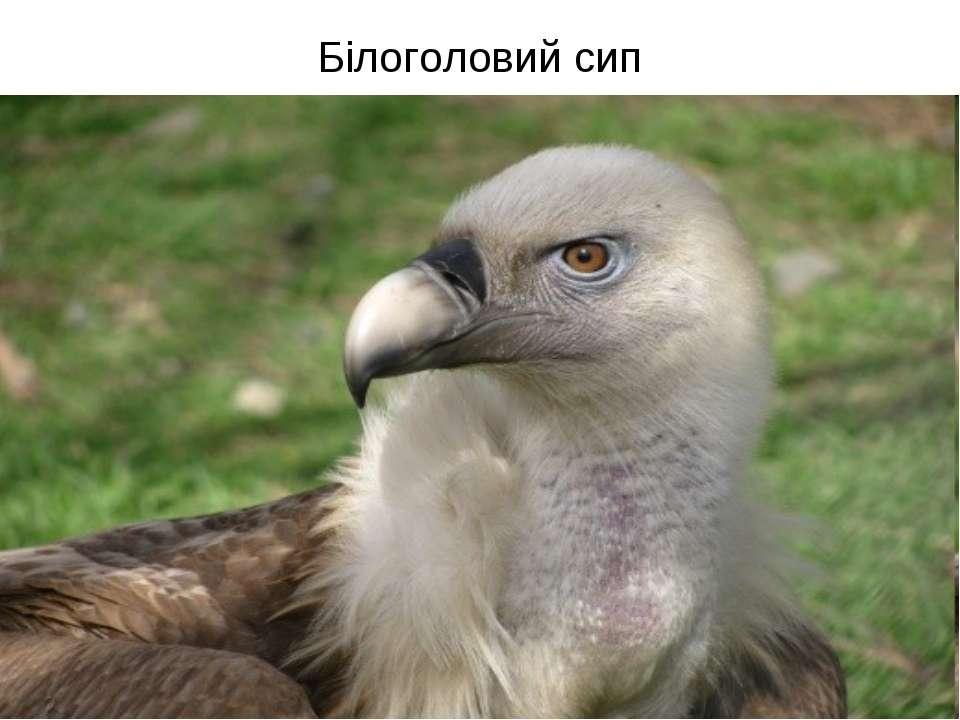 Білоголовий сип