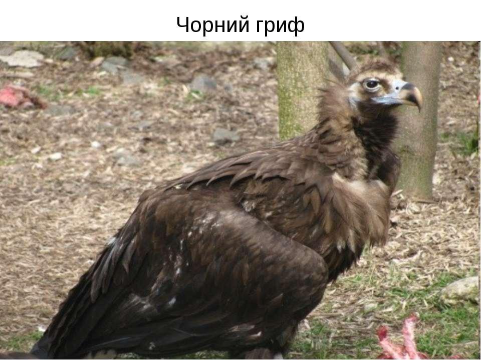 Чорний гриф