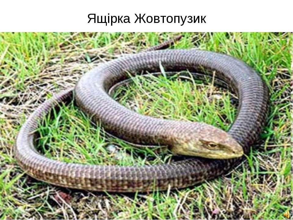 Ящірка Жовтопузик