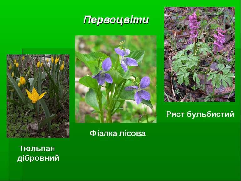Первоцвіти Фіалка лісова Ряст бульбистий Тюльпан дібровний