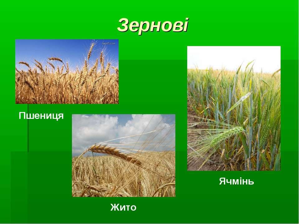 Зернові Пшениця Жито Ячмінь