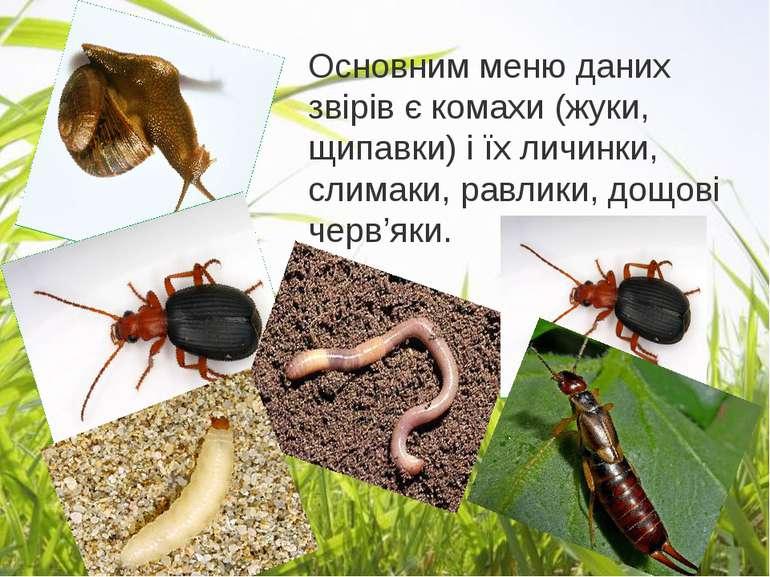 Основним меню даних звірів є комахи (жуки, щипавки) і їх личинки, слимаки, ра...
