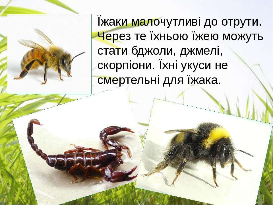 Їжаки малочутливі до отрути. Через те їхньою їжею можуть стати бджоли, джмелі...