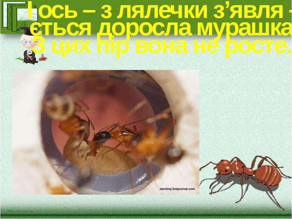 І ось – з лялечки з'явля – ється доросла мурашка. З цих пір вона не росте.