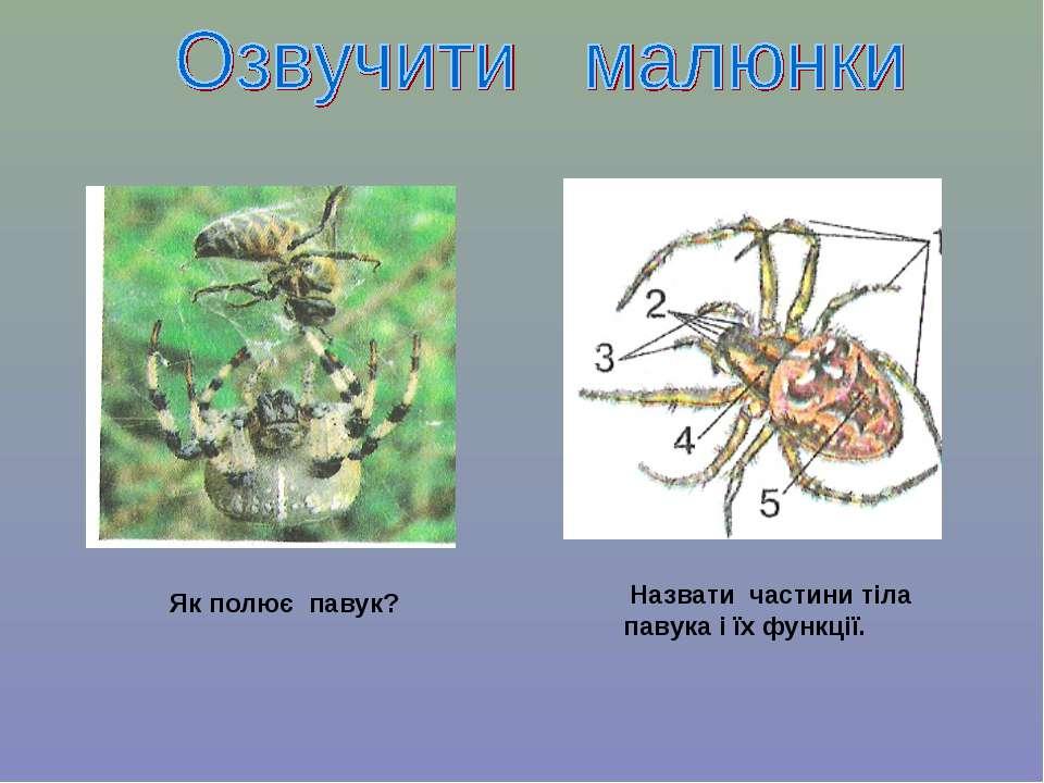 Назвати частини тіла павука і їх функції. Як полює павук?