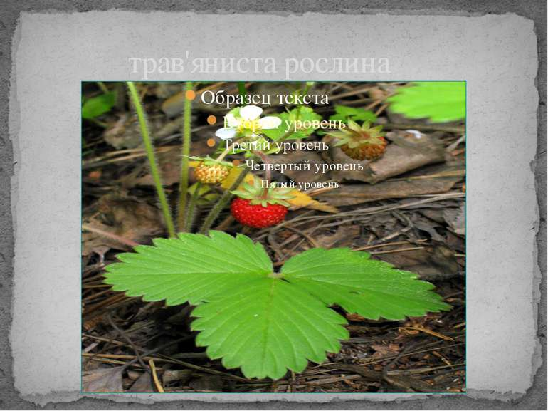 трав'яниста рослина