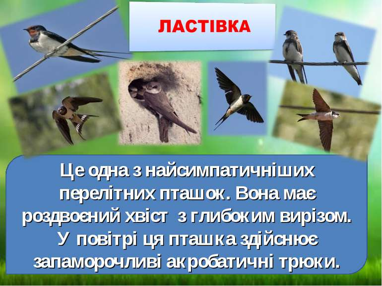Це одна з найсимпатичніших перелітних пташок. Вона має роздвоєний хвіст з гли...