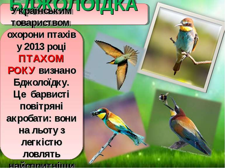 БДЖОЛОЇДКА Українським товариством охорони птахів у 2013 році ПТАХОМ РОКУ виз...