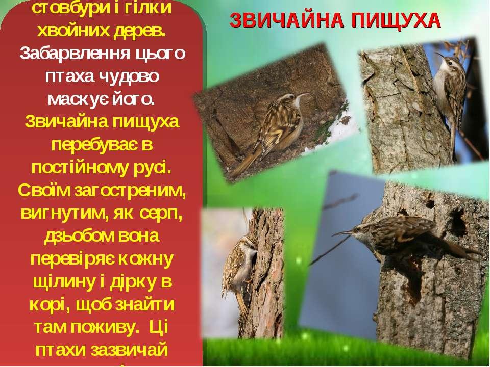 ЗВИЧАЙНА ПИЩУХА Працьовита, як мурашка, звичайна пищуха обшукує стовбури і гі...