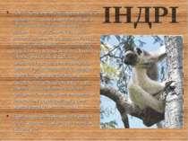 Там, де на півночі Мадагаскару збереглися первинні ліси, можна зустріти одног...