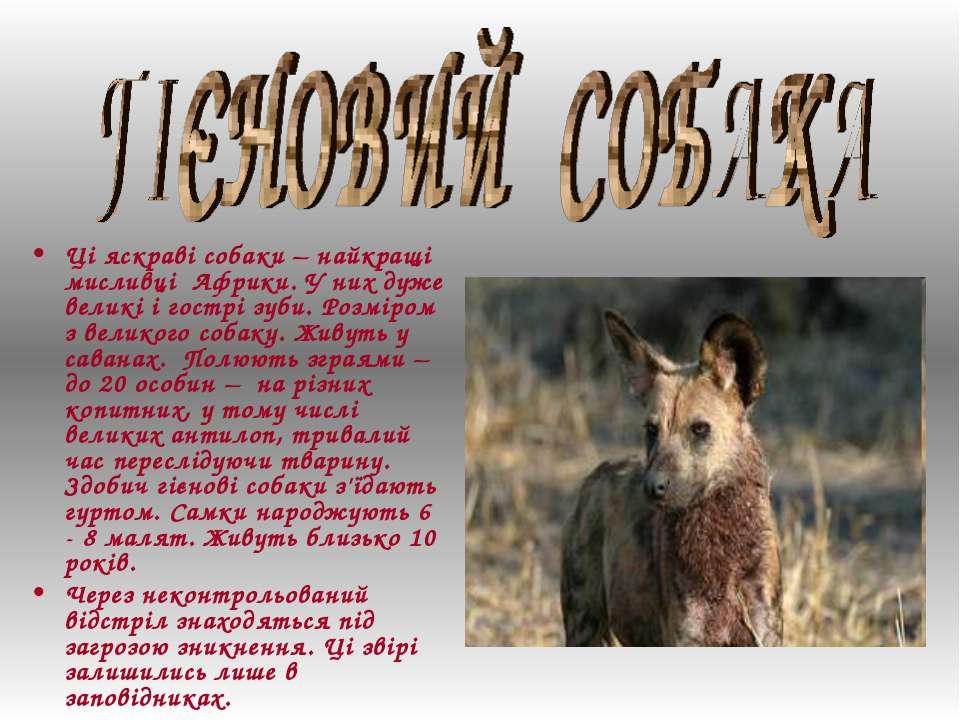 Ці яскраві собаки – найкращі мисливці Африки. У них дуже великі і гострі зуби...