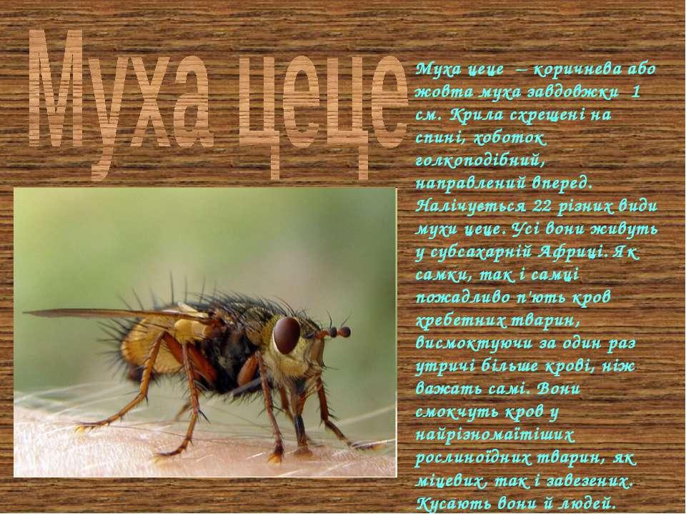 Муха цеце – коричнева або жовта муха завдовжки 1 см. Крила схрещені на спині,...
