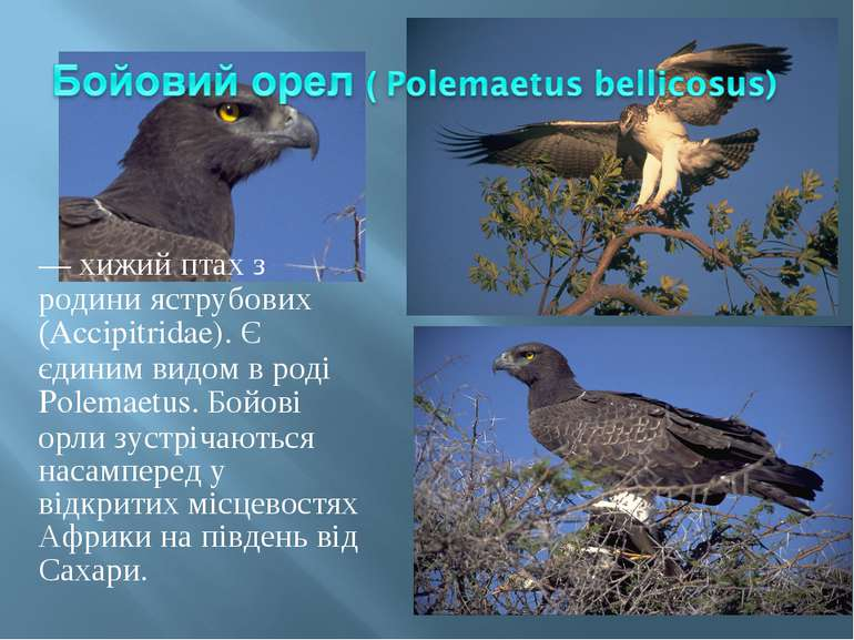 — хижий птах з родини яструбових (Accipitridae). Є єдиним видом в роді Polema...