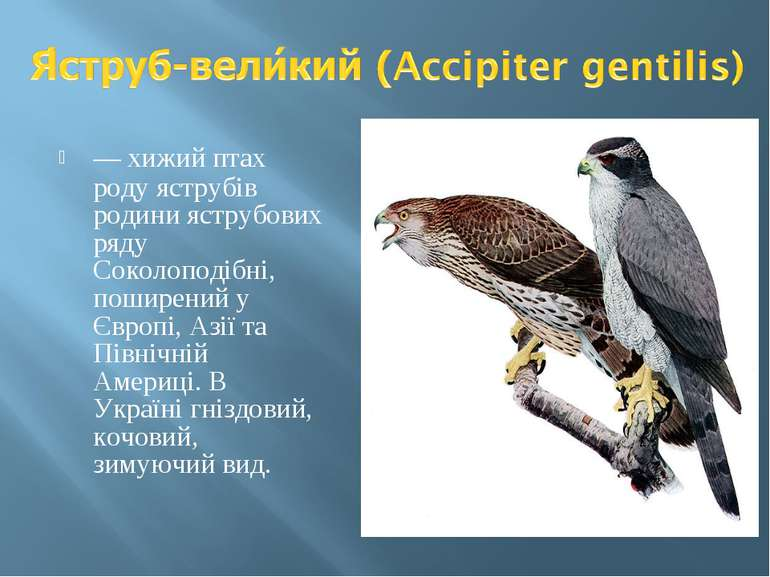 — хижий птах роду яструбів родини яструбових ряду Соколоподібні, поширений у ...