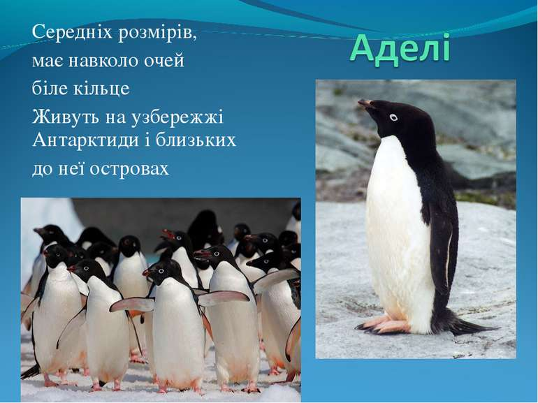 Середніх розмірів, має навколо очей біле кільце Живуть на узбережжі Антарктид...