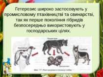 . Гетерозис широко застосовують у промисловому птахівництві та свинарстві, та...