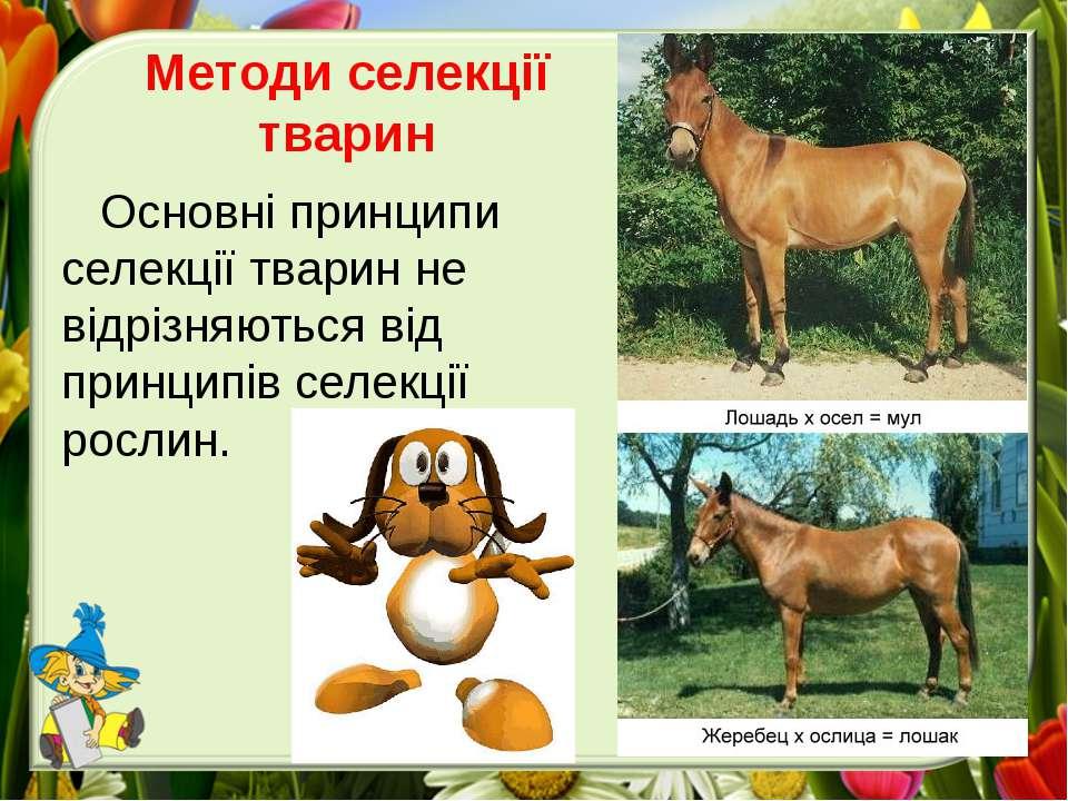 Методи селекції тварин Основні принципи селекції тварин не відрізняються від ...