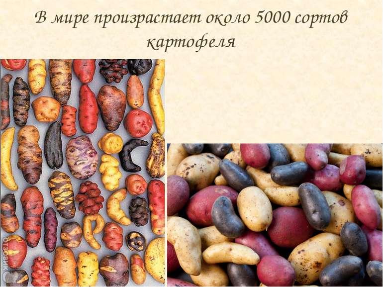 В мире произрастает около 5000 сортов картофеля