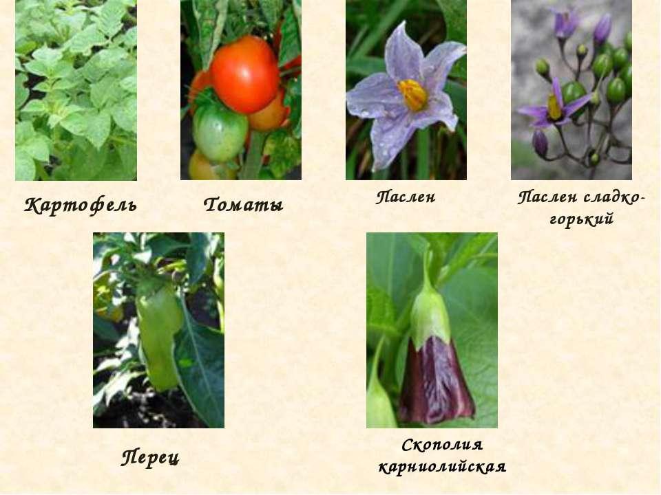 пасленовые растения все картинки нужно