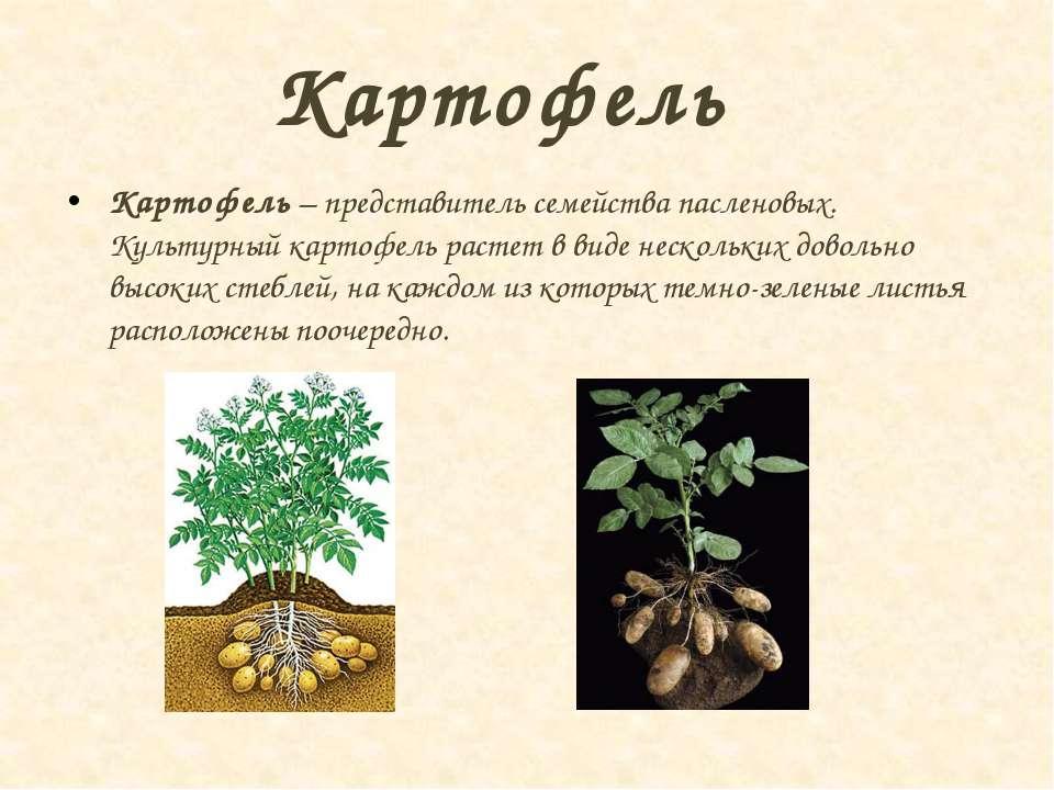Картофель Картофель – представитель семейства пасленовых. Культурный картофел...