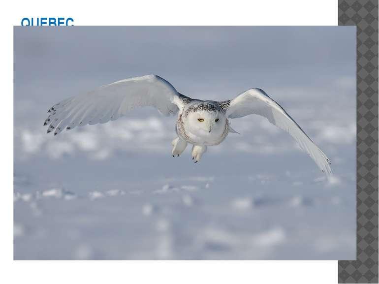 QUEBEC L'emblème aviaire