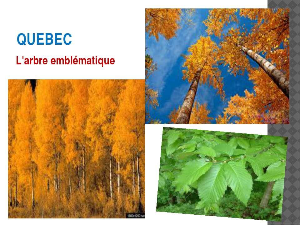 QUEBEC L'arbre emblématique