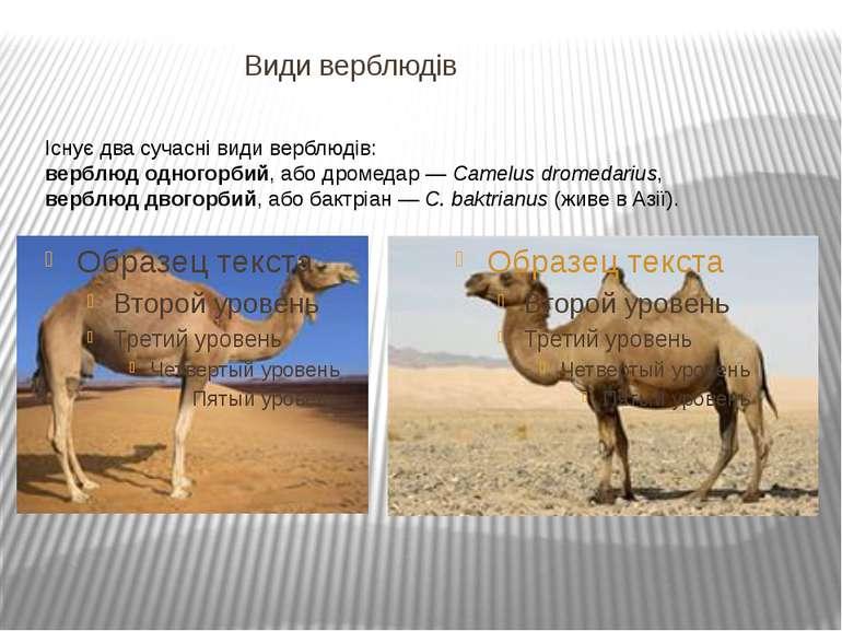 Види верблюдів Існує два сучасні види верблюдів: верблюд одногорбий, або дром...
