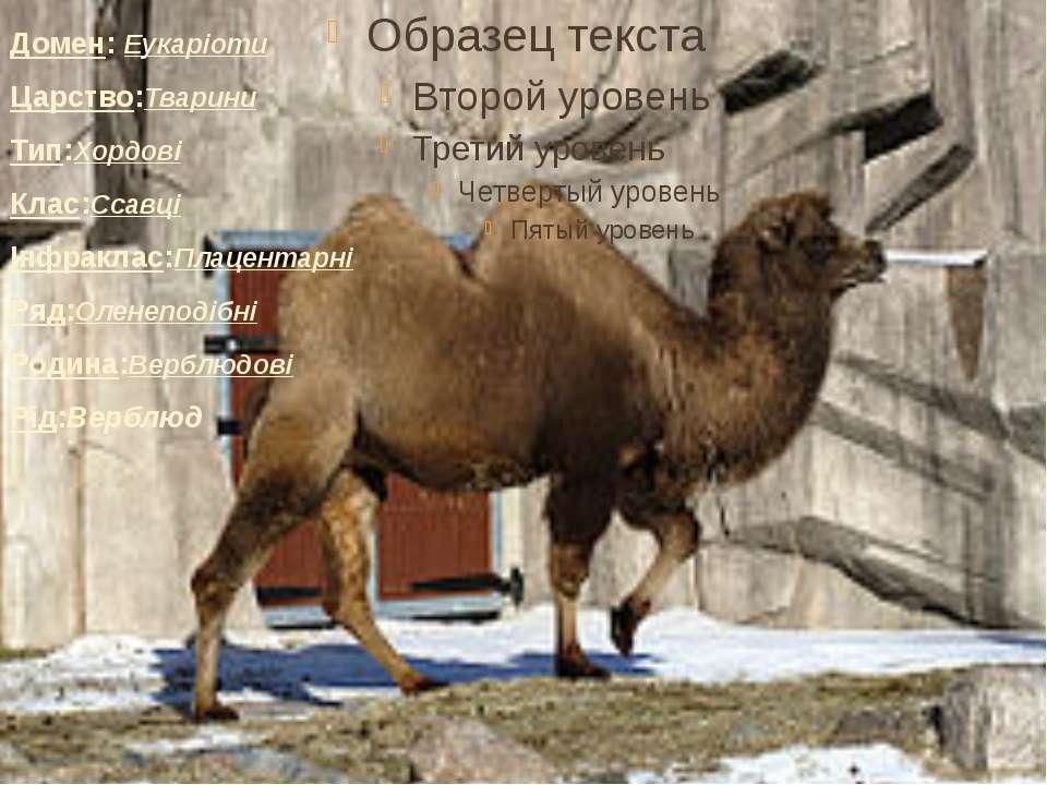 Домен: Еукаріоти Царство:Тварини Тип:Хордові Клас:Ссавці Інфраклас:Плацен...