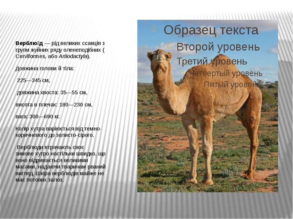 Верблю д— рід великихссавцівз групижуйнихрядуоленеподібних(Cerviformes...