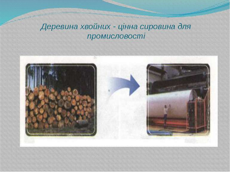Деревина хвойних - цінна сировина для промисловості