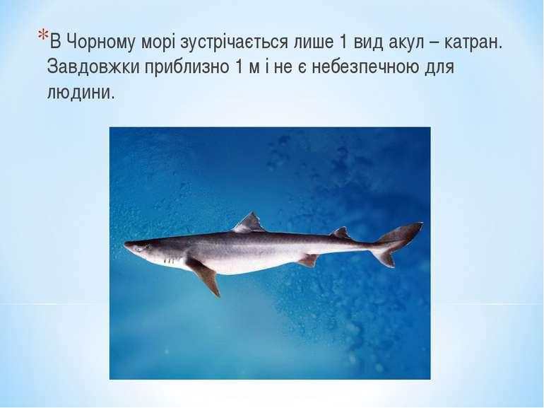 В Чорному морі зустрічається лише 1 вид акул – катран. Завдовжки приблизно 1 ...