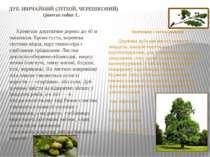 ДУБ ЗВИЧАЙНИЙ (ЛІТНІЙ, ЧЕРЕШКОВИЙ) Quercus robur L. Кремезне довговічне дерев...