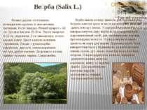 Ве рба (Salix L.) Велике дерево з потужною, розкидистою кроною зі звисаючими...